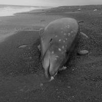 海廢問題危及動物存續 擱淺花東的柯氏喙鯨一屍兩命