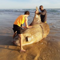 曼波魚擱淺澳洲河口 鱗片布滿沙子被誤認是塊船隻殘骸