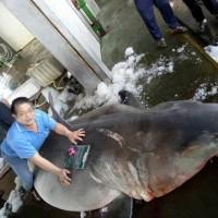 Huge, pregnant great white shark caught off NE Taiwan coast