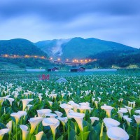 Set a date for Taiwan's Calla Lily Festival
