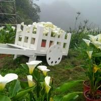 竹子湖海芋季 十大地景花藝打卡好去處