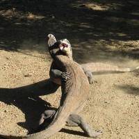 印尼:不肖商人透過臉書販售保育類科摩多巨蜥