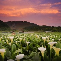 Taiwan Calla Lily Festival kicks off today