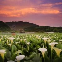 Taiwan Calla Lily Festival kicks off today