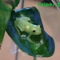 新生寶寶「玻璃蛙」誕生 台北市立動物園成功繁殖