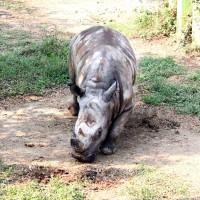 強化保種繁殖 雄性白犀牛犀奇遷居高雄壽山動物園