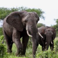 簡又新專欄 – 族群瀕危的大象 需要透過禁止象牙買賣加以保育