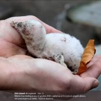獨一無二白子黑腳企鵝誕生 波蘭動物園三月後公布喜訊