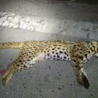 Miaoli County Councilor says 'too many Leopard cats' cause highway deaths