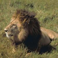 動物的反擊 南非國家公園盜獵者慘死獅群之口