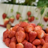 草莓界的香奈兒 「苗栗1號-戀香」耐氣候變遷糖度高