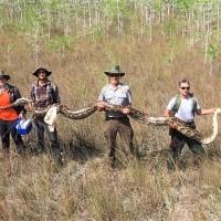 危害生物多樣性 64公斤緬甸蟒遭佛州國家保護區獵捕