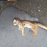 Taiwan leopard cat kitten mauled to death by dogs