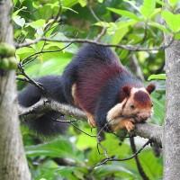 真的存在!五顏六色巨松鼠現印度叢林