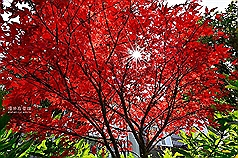 Japanese maples turning red on Taiwan's Alishan