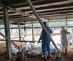彰化縣鹿港鎮一處土雞場被確診感染H5N2亞型高病原性 禽流感病毒,防疫人員16日進行全場撲殺及消毒,共撲 殺6958隻土雞。 (彰化縣政府提供) 中央社記者蕭博陽彰化縣傳真 107年12月16日